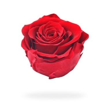 Rosa Preservada Boton Kiara (6 Unds)